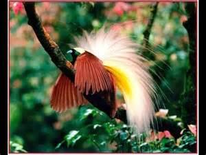 burung aneh yg unik lucu misterius dan mempesona burung cendrawasih