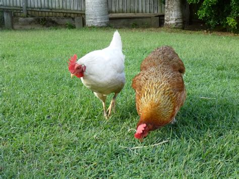backyard poultry australia new from australia chicken pics backyard chickens