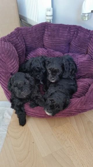 lhasa poo puppies for sale beautiful lhasa poo puppies for sale scarborough pets4homes