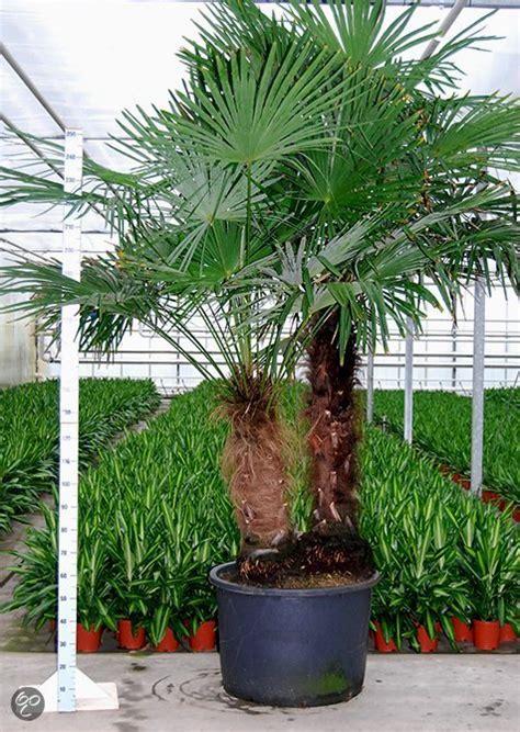 winterharde palmboom in tuin bol palmbomen tuin en balkonplant trachycarpus