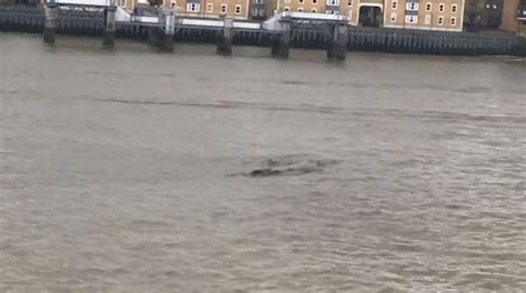 loch ness in thames second sighting of loch ness monster in the thames