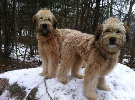 mini wheaten doodle whoodle ct s wheaten your wheatens whoodles