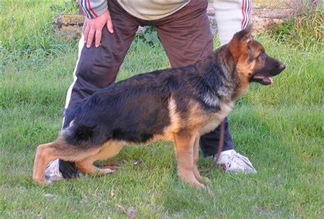 alimentazione pastore tedesco 5 mesi cuccioli djenges kahn vom sante s home x wendy di turboland