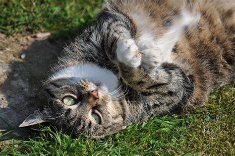alimentazione casalinga per gatti alimentazione casalinga per il gatto sterilizzato dogalize