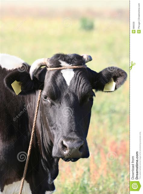 scow head cow head stock photo image of farm food face beef