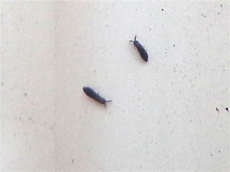 small flying bugs in kitchen black bugs on gutter hypogastrura bugguide net