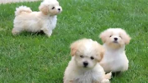 maltipoo puppies for sale maltipoo puppies for sale