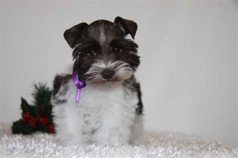 teacup puppies for sale in oklahoma miniature schnauzers teacup and miniature schnauzer puppies for sale