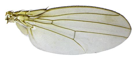 the wings of an insect are attached to this section wing mod insect wings
