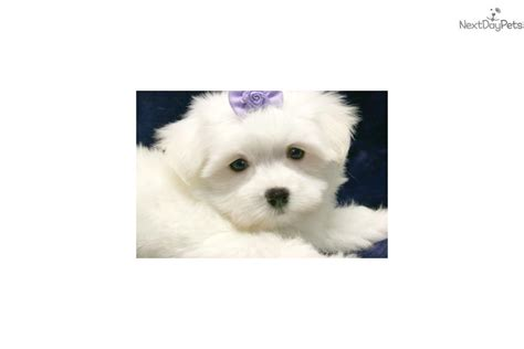 maltese puppies near me andy maltese puppy for sale near new york city new york