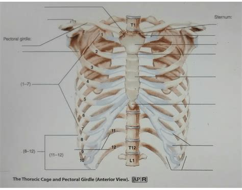 thoracic cage pectoral gridle anterior view