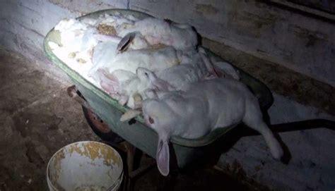 conigli in gabbia conigli in gabbia allevamento dell orrore chiude a forl 236