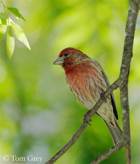 house finch diet house finch