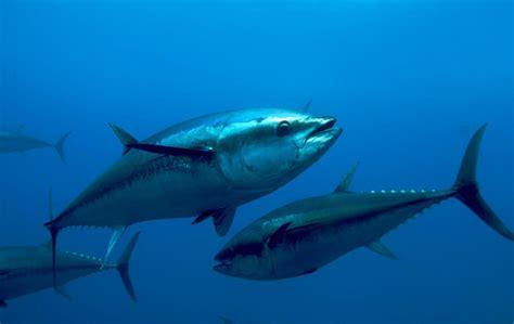 Cold Recipes by Atlantic Bluefin Tuna Oceana