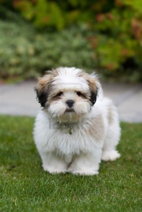 lhasa apso puppy lhasa apso photo and wallpaper beautiful lhasa apso pictures