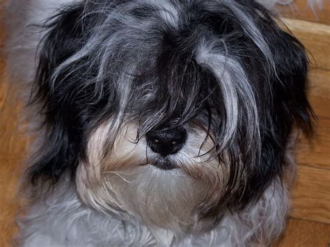 havanese forum 266 best images about havanese on westminster show and
