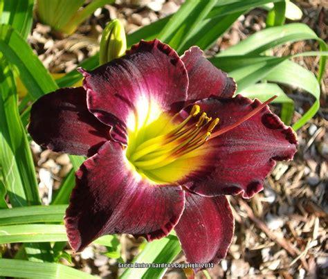 daylilies for shade gogardennow faq will daylilies