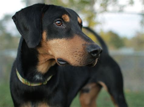 doberman and golden retriever mix images for gt golden retriever doberman pinscher mix