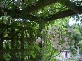 climbing plants for pergola climbing roses