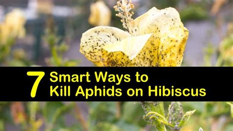 smart ways  kill aphids  hibiscus