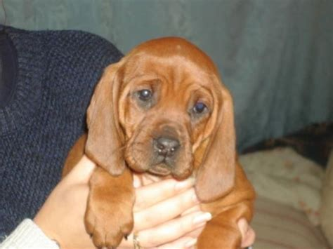 redbone coonhound puppies redbone coonhound puppy dogs