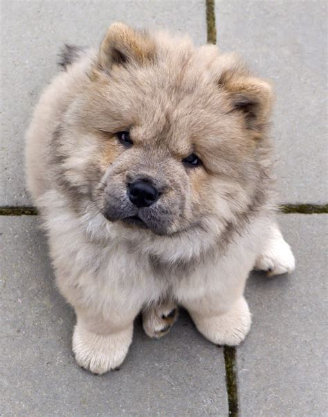 chow puppies the 20 cutest photos of chow chow dogs best photography