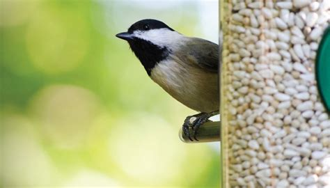 safflower wild birds unlimited wild birds unlimited