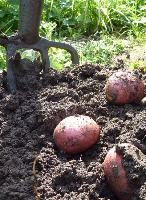Gardening Potatoes Growing New Seasons Potatoes Plant Barn