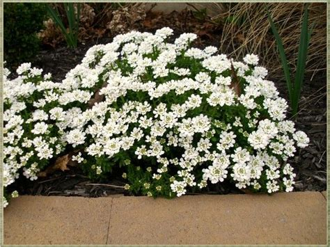 for rock gardens candytuft is a woody evergreen