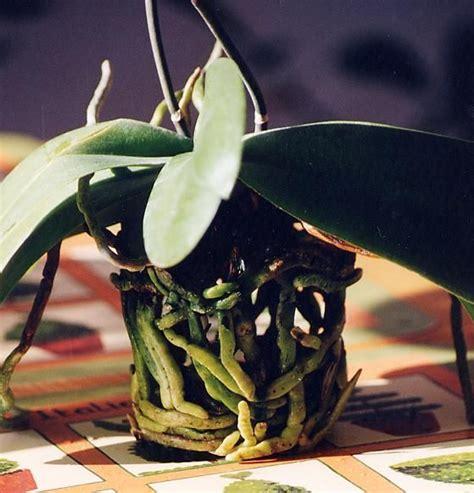 potatura orchidee in vaso 1000 id 233 es sur le th 232 me rempoter une orchid 233 e sur