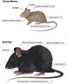 blog how rats in honolulu differ from mice