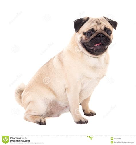 pug side side view of pug isolated on white stock photo image 52829736