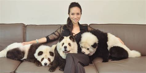 puppies that look like pandas dogs that look like panda bears