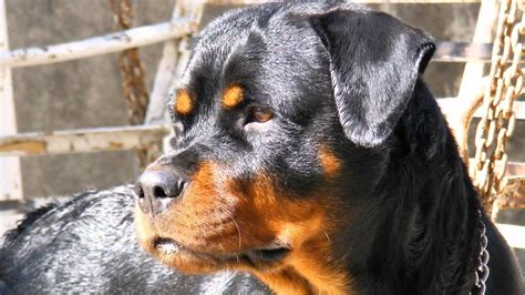 rottweiler attack in india rottweiler in india photo