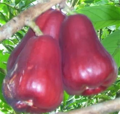 Bibit Jambu Air Jamaika mister bibit hortikultura bibit jambu jamaika orderan