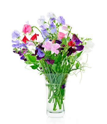 fiore pisello odoroso pisello odoroso come coltivarlo fai da te in giardino