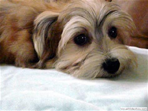 origin of havanese dogs havanese history