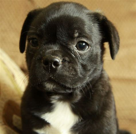 boston terrier pug puppies pug mix breeds list design breeds picture