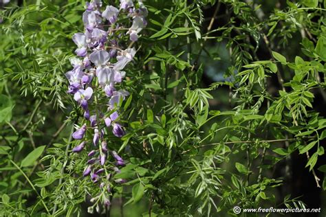 wisteria plant picture flower pictures 5963