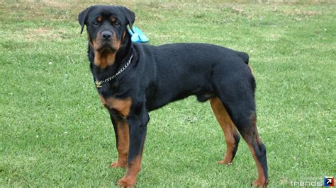 rottweiler colors pin blue doberman on