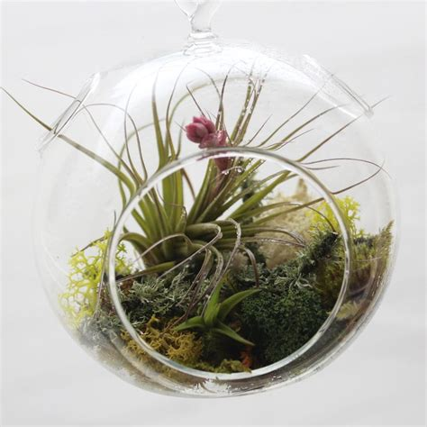 Tillandsia Stricta By Fab Outlet 96 best images about air plants on