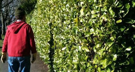 costo siepi da giardino siepe alloro siepi siepe di alloro