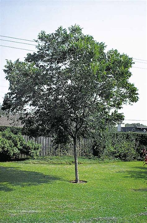 pecan tree for zones 6 7 garden sheds garden ideas