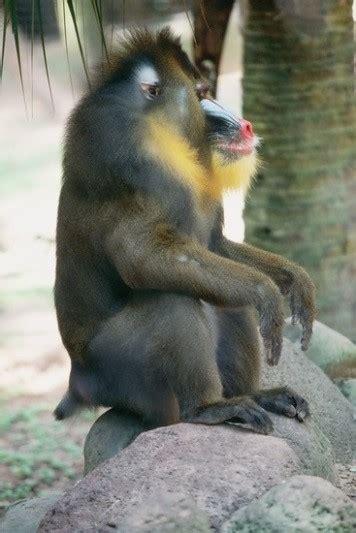 year   monkey mandrills  houston zoo