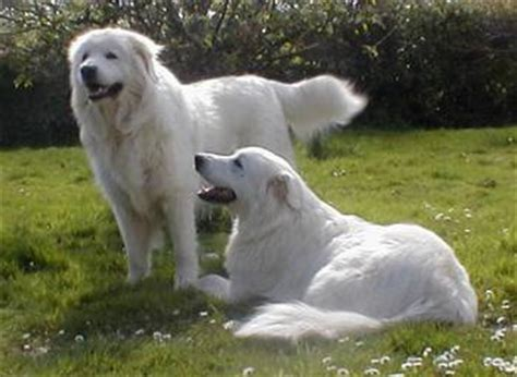 italian dogs the italian sheep temperament and care a breed selector
