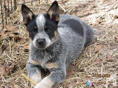 free puppies tx border collie and blue heeler puppies in breeds picture