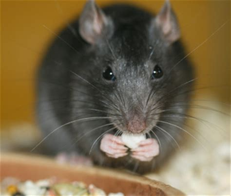 Would You Eat A Rat by Most Common Obese Pets No 4 Rats