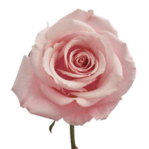Light Pink Roshes by Esther Light Pink Roses