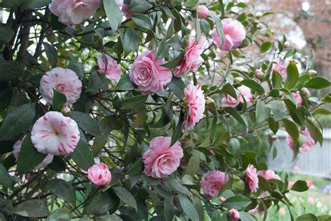 La Room Spray Peppermint la peppermint japanese camellia p allen smith