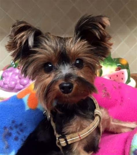 where to adopt a yorkie save a yorkie rescue petfinder foundation